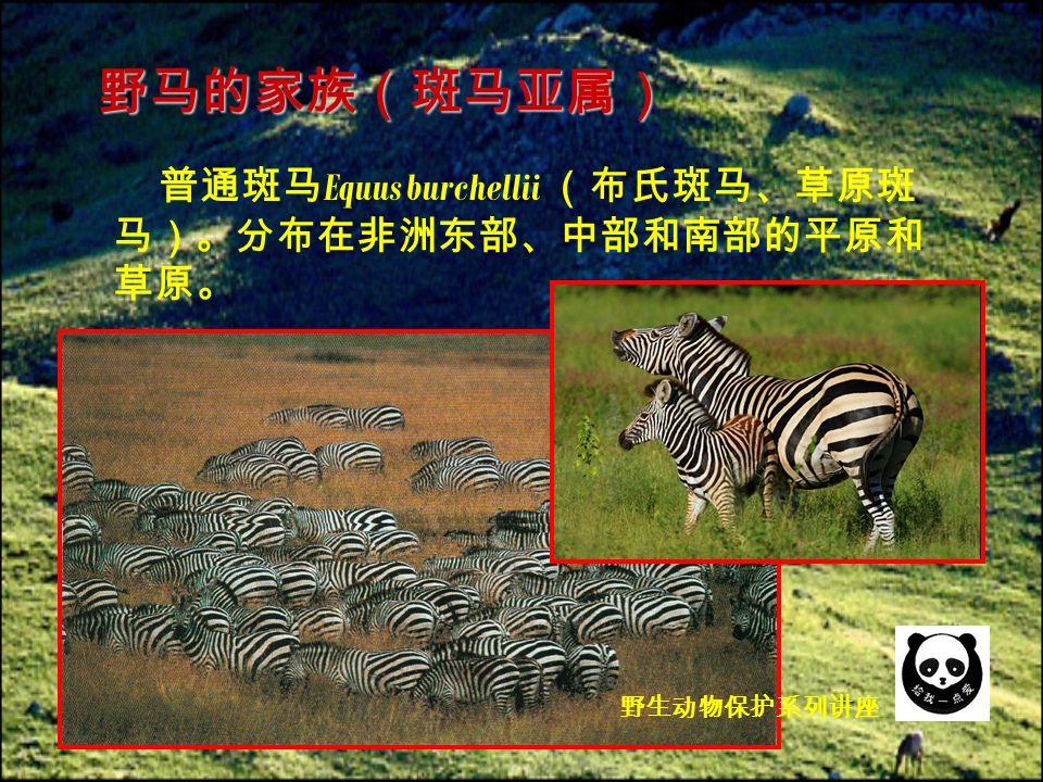 普通斑马 Equus burchellii (布氏斑马、草原斑 马)。分布在非洲东部、中部和南部的平原和 草原。 野马的家族(斑马亚属) 野生动物保护系列讲座