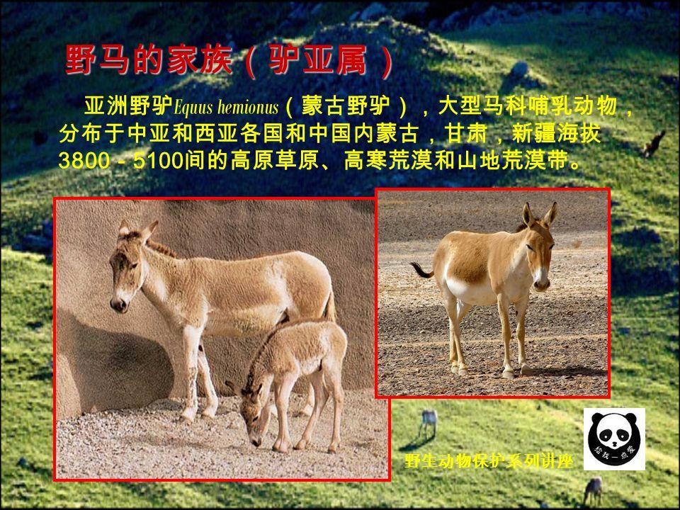 亚洲野驴 Equus hemionus (蒙古野驴),大型马科哺乳动物, 分布于中亚和西亚各国和中国内蒙古,甘肃,新疆海拔 3800 - 5100 间的高原草原、高寒荒漠和山地荒漠带。 野马的家族(驴亚属) 野生动物保护系列讲座