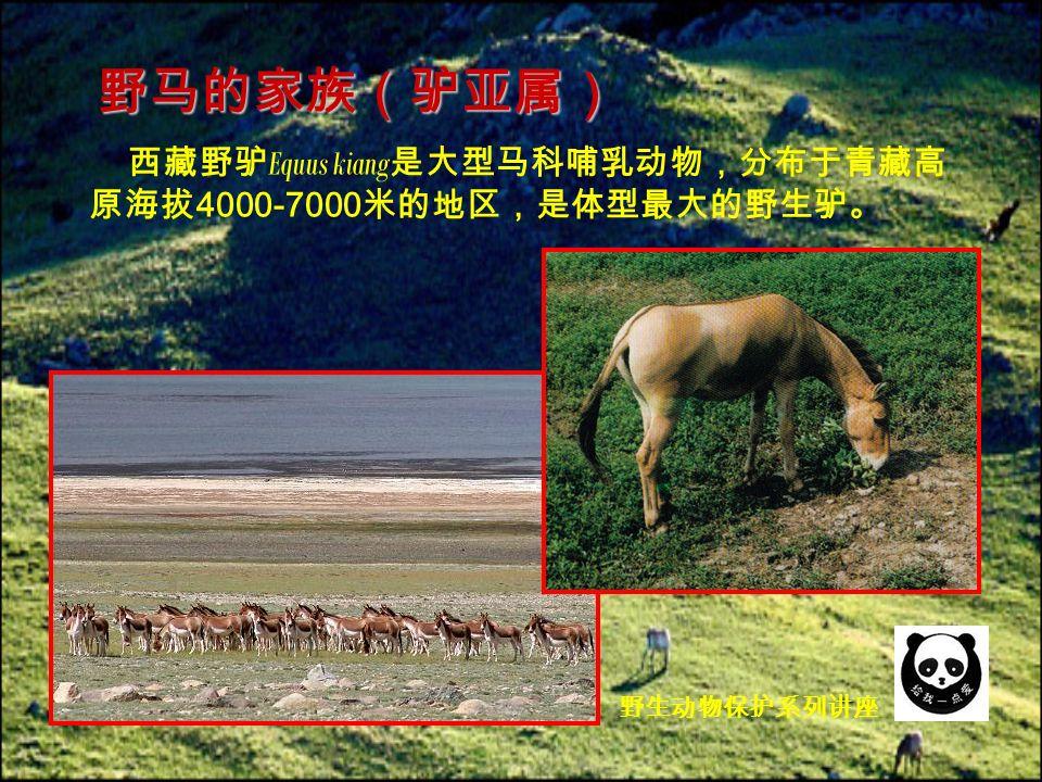 西藏野驴 Equus kiang 是大型马科哺乳动物,分布于青藏高 原海拔 4000-7000 米的地区,是体型最大的野生驴。 野马的家族(驴亚属) 野生动物保护系列讲座