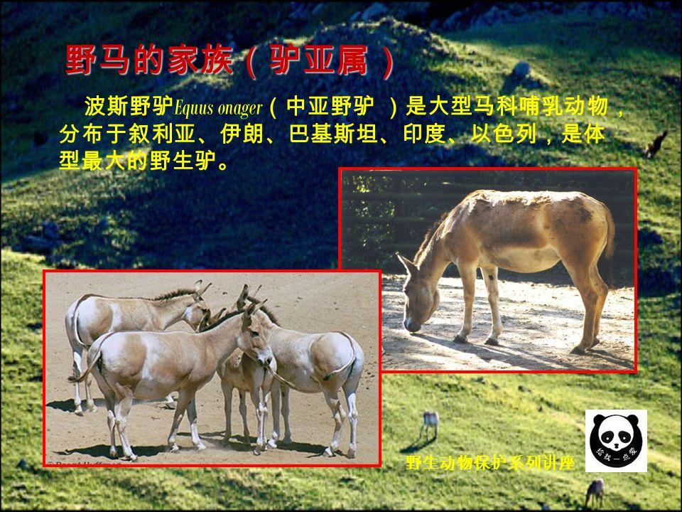 波斯野驴 Equus onager (中亚野驴 )是大型马科哺乳动物, 分布于叙利亚、伊朗、巴基斯坦、印度、以色列,是体 型最大的野生驴。 野马的家族(驴亚属) 野生动物保护系列讲座