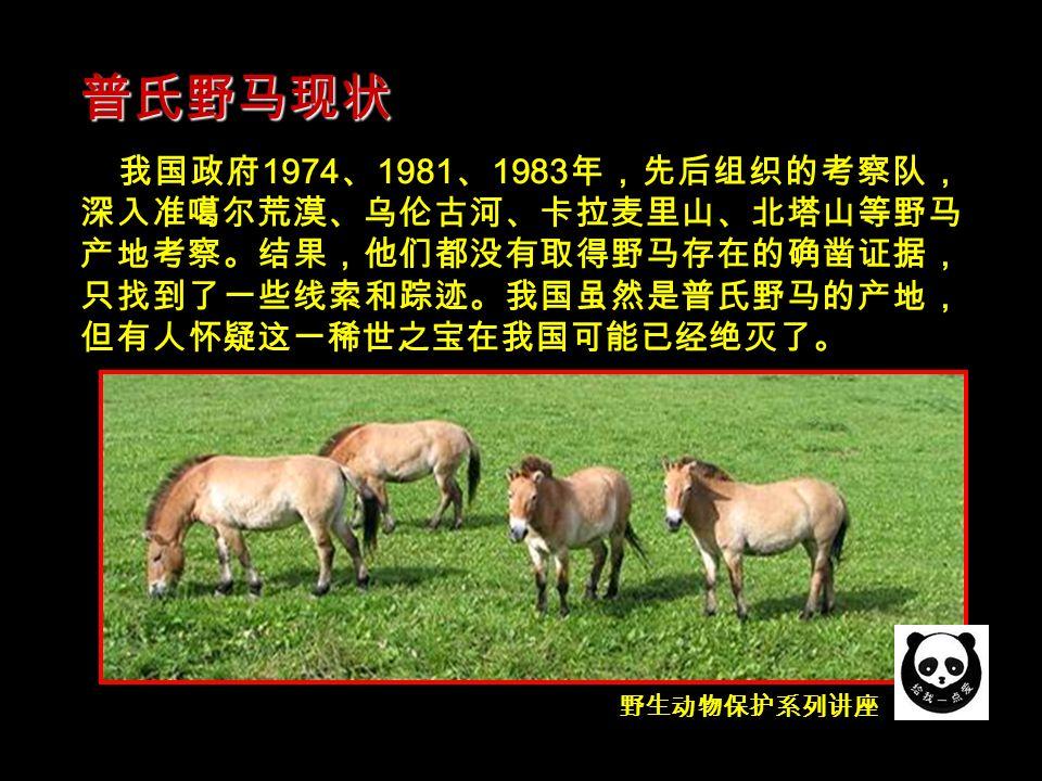 野生动物保护系列讲座 我国政府 1974 、 1981 、 1983 年,先后组织的考察队, 深入准噶尔荒漠、乌伦古河、卡拉麦里山、北塔山等野马 产地考察。结果,他们都没有取得野马存在的确凿证据, 只找到了一些线索和踪迹。我国虽然是普氏野马的产地, 但有人怀疑这一稀世之宝在我国可能已经绝灭了。 普氏野马现状