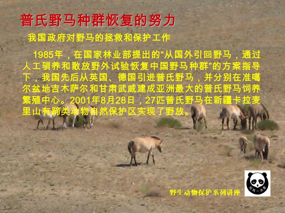 野生动物保护系列讲座 我国政府对野马的拯救和保护工作 1985 年,在国家林业部提出的 从国外引回野马,通过 人工驯养和散放野外试验恢复中国野马种群 的方案指导 下,我国先后从英国、德国引进普氏野马,并分别在准噶 尔盆地吉木萨尔和甘肃武威建成亚洲最大的普氏野马饲养 繁殖中心。 2001 年 8 月 28 日, 27 匹普氏野马在新疆卡拉麦 里山有蹄类动物自然保护区实现了野放。 普氏野马种群恢复的努力