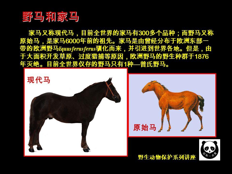 野生动物保护系列讲座 家马又称现代马,目前全世界的家马有 300 多个品种;而野马又称 原始马,是家马 6000 年前的祖先。家马是由曾经分布于欧洲东部一 带的欧洲野马 Equus ferus ferus 驯化而来,并引进到世界各地。但是,由 于大面积开发草原、过度猎捕等原因,欧洲野马的野生种群于 1876 年灭绝。目前全世界仅存的野马只有 1 种 — 普氏野马。 野马和家马 现代马 原始马