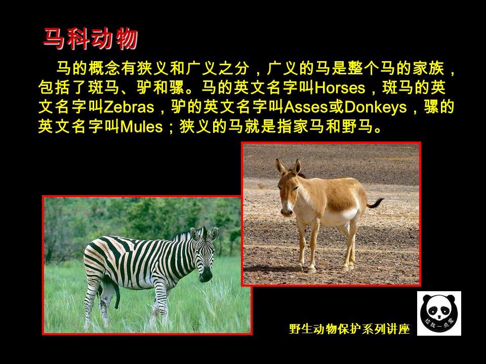 野生动物保护系列讲座 马的概念有狭义和广义之分,广义的马是整个马的家族, 包括了斑马、驴和骡。马的英文名字叫 Horses ,斑马的英 文名字叫 Zebras ,驴的英文名字叫 Asses 或 Donkeys ,骡的 英文名字叫 Mules ;狭义的马就是指家马和野马。 马科动物