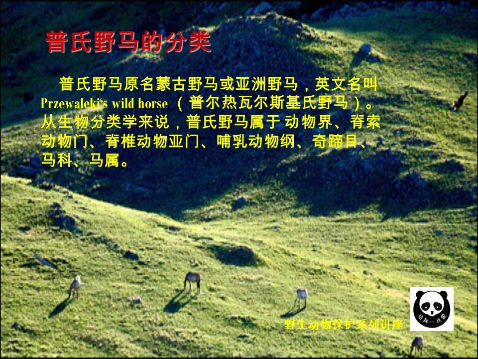 野生动物保护系列讲座 普氏野马原名蒙古野马或亚洲野马,英文名叫 Przewaleki's wild horse (普尔热瓦尔斯基氏野马)。 从生物分类学来说,普氏野马属于 动物界、脊索 动物门、脊椎动物亚门、哺乳动物纲、奇蹄目、 马科、马属。 普氏野马的分类