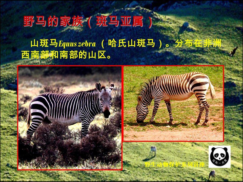 山斑马 Equus zebra (哈氏山斑马)。分布在非洲 西南部和南部的山区。 野马的家族(斑马亚属) 野生动物保护系列讲座