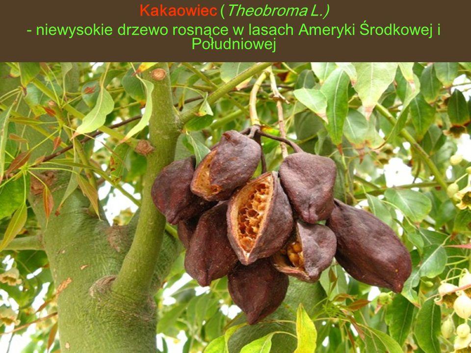 Kakaowiec (Theobroma L.) - niewysokie drzewo rosnące w lasach Ameryki Środkowej i Południowej