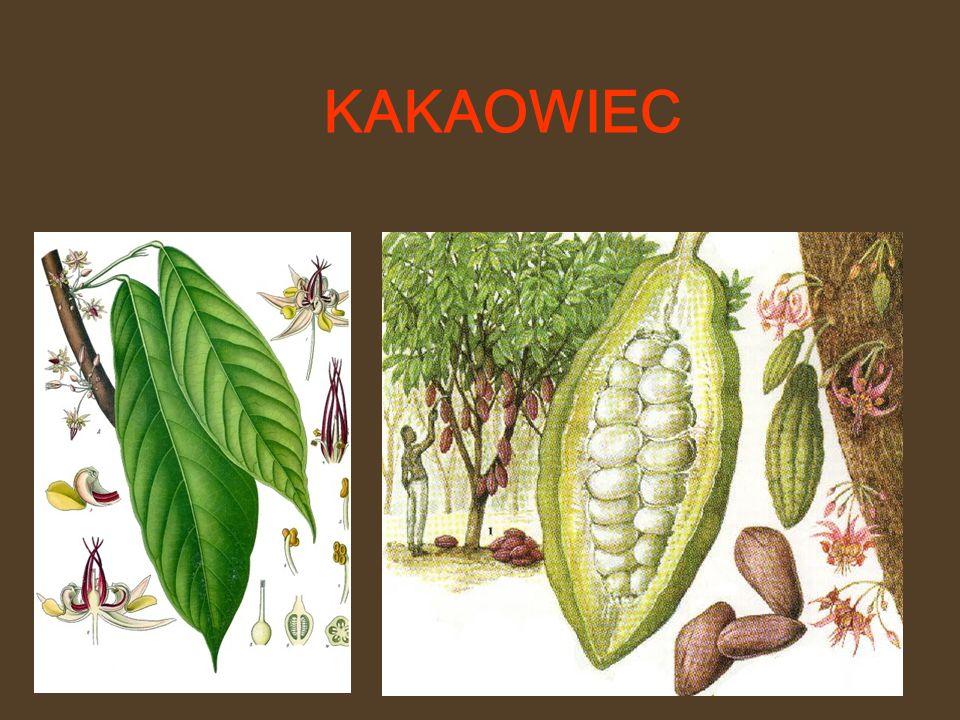 BIAŁA – bez zawartości proszku kakaowego, z niską zawartością masła kakaowego.