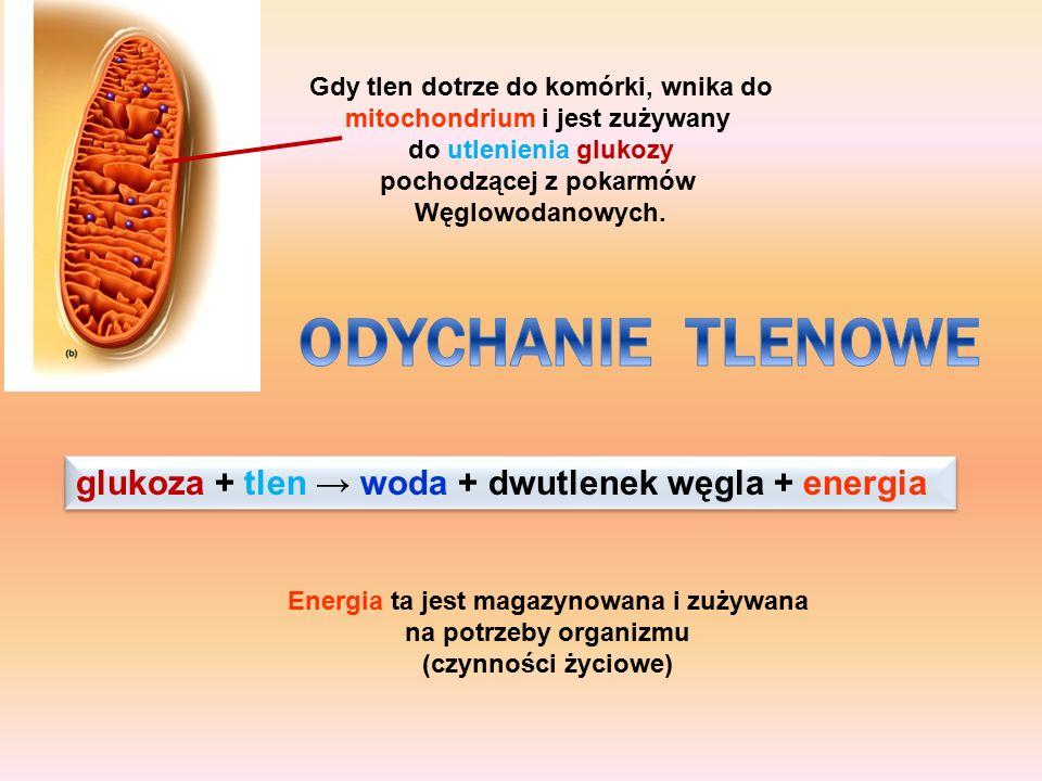 Gdy tlen dotrze do komórki, wnika do mitochondrium i jest zużywany do utlenienia glukozy pochodzącej z pokarmów Węglowodanowych. glukoza + tlen → woda