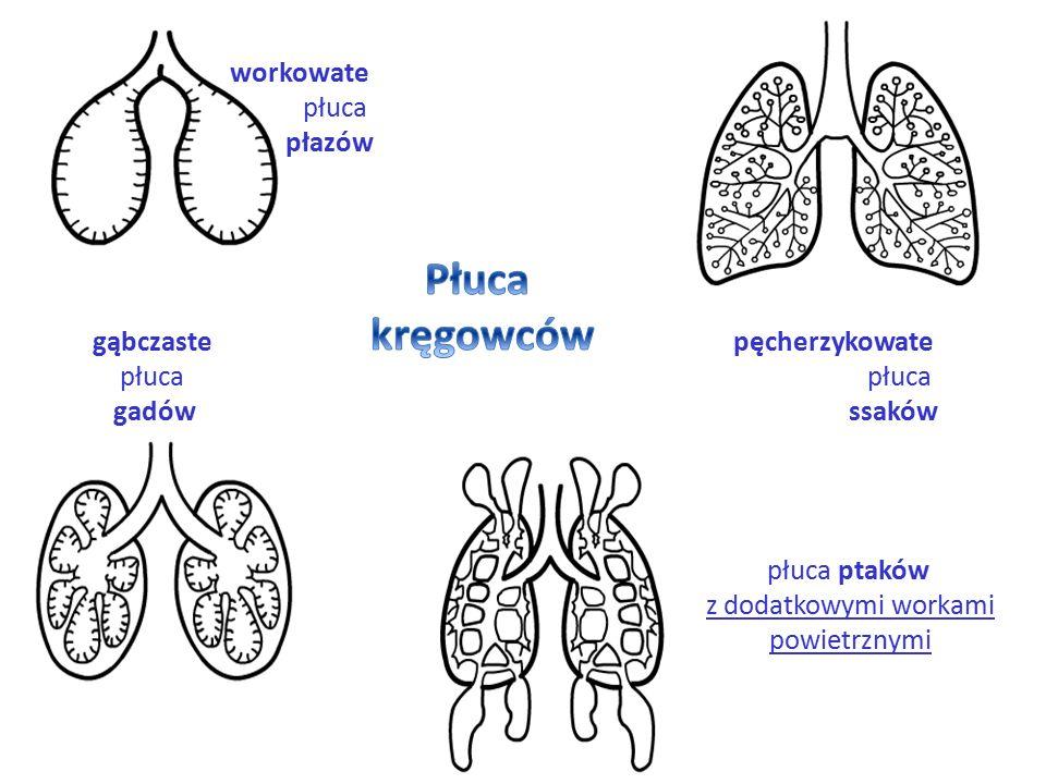 workowate płuca płazów gąbczaste płuca gadów pęcherzykowate płuca ssaków płuca ptaków z dodatkowymi workami powietrznymi