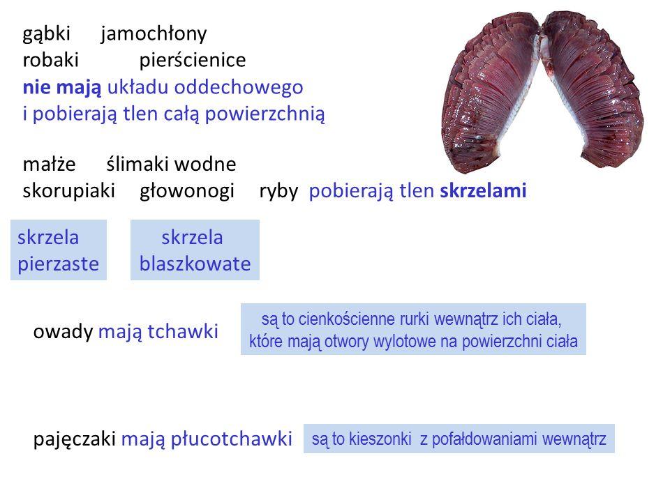 gąbki jamochłony robaki pierścienice nie mają układu oddechowego i pobierają tlen całą powierzchnią owady mają tchawki pajęczaki mają płucotchawki skr