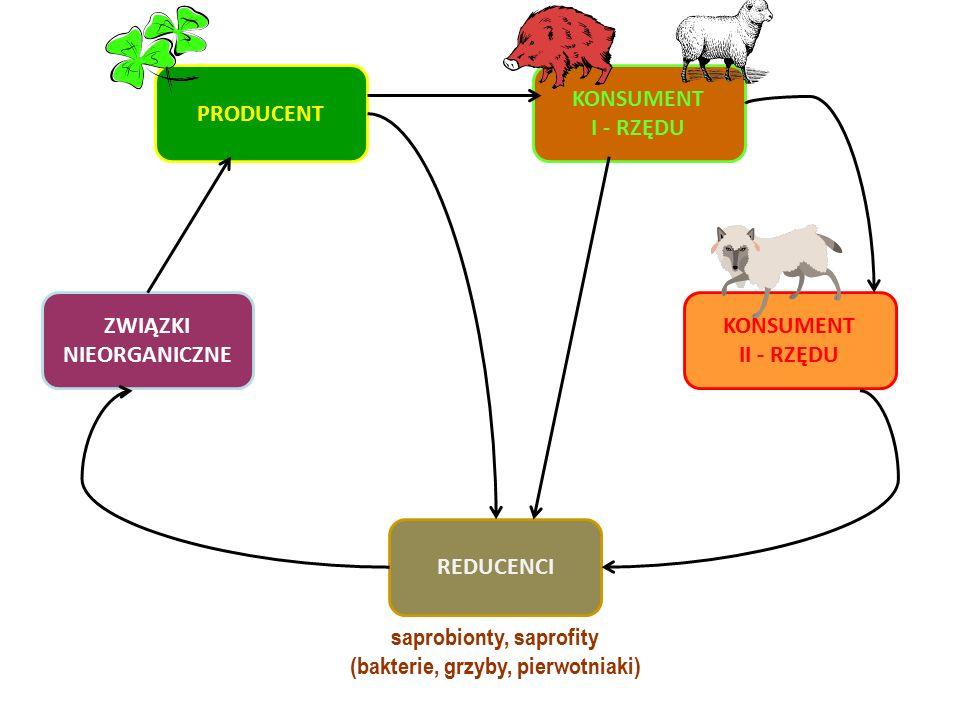 PRODUCENT KONSUMENT I - RZĘDU KONSUMENT II - RZĘDU ZWIĄZKI NIEORGANICZNE REDUCENCI saprobionty, saprofity (bakterie, grzyby, pierwotniaki)
