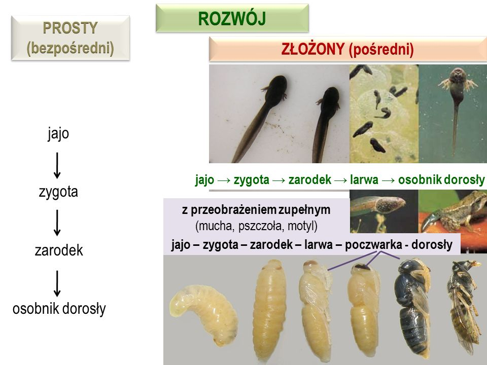 jajo → zygota → zarodek → larwa → osobnik dorosły z przeobrażeniem zupełnym (mucha, pszczoła, motyl) jajo – zygota – zarodek – larwa – poczwarka - dor