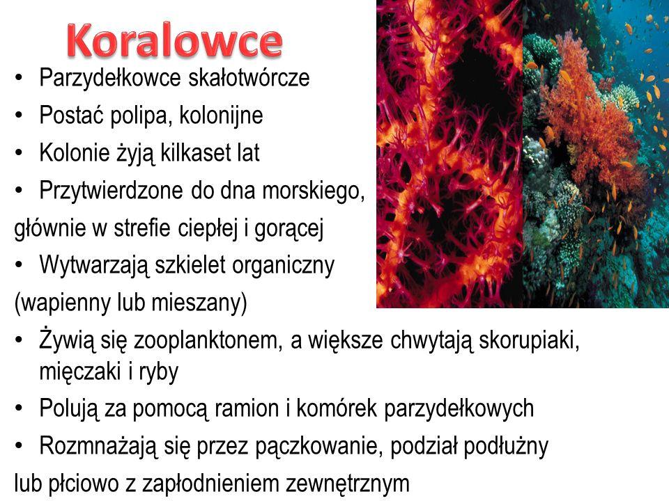 Parzydełkowce skałotwórcze Postać polipa, kolonijne Kolonie żyją kilkaset lat Przytwierdzone do dna morskiego, głównie w strefie ciepłej i gorącej Wyt