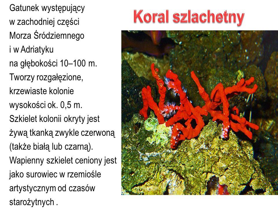 Gatunek występujący w zachodniej części Morza Śródziemnego i w Adriatyku na głębokości 10–100 m. Tworzy rozgałęzione, krzewiaste kolonie wysokości ok.