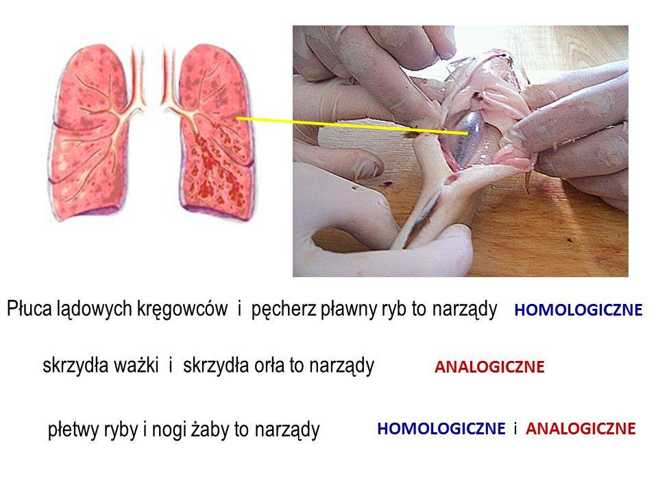 dżdżownica pijawka Pijawka może jednorazowo wyssać tyle krwi, że ciężar jej ciała wzrośnie kilkakrotnie.