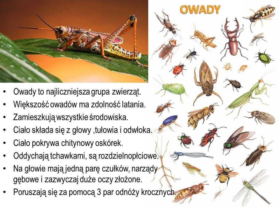 Owady to najliczniejsza grupa zwierząt. Większość owadów ma zdolność latania. Zamieszkują wszystkie środowiska. Ciało składa się z głowy,tułowia i odw