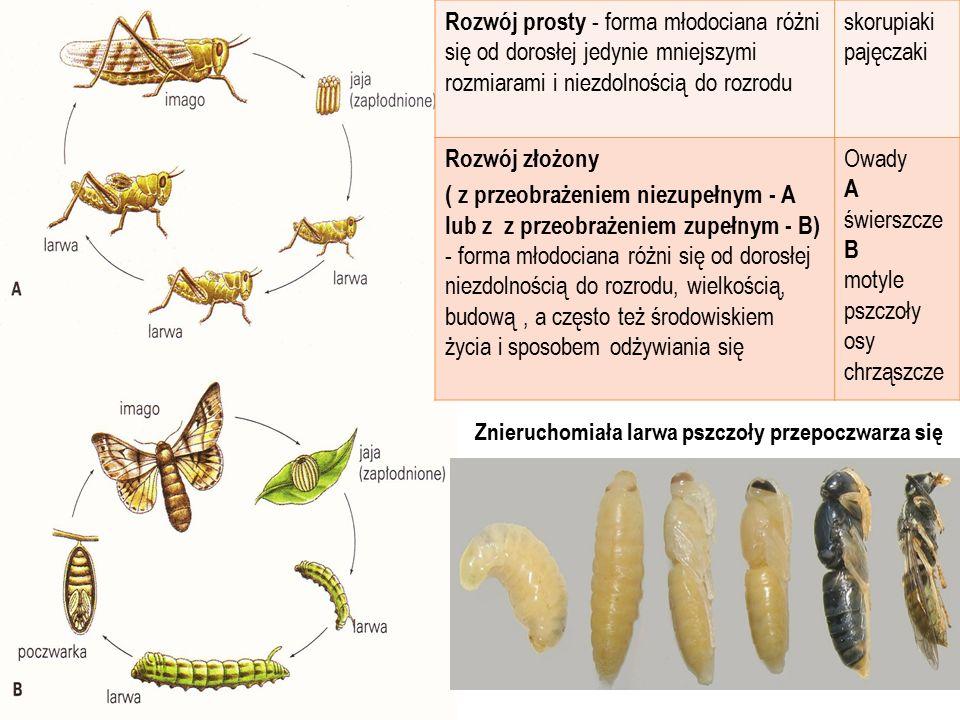 Rozwój prosty - forma młodociana różni się od dorosłej jedynie mniejszymi rozmiarami i niezdolnością do rozrodu skorupiaki pajęczaki Rozwój złożony (