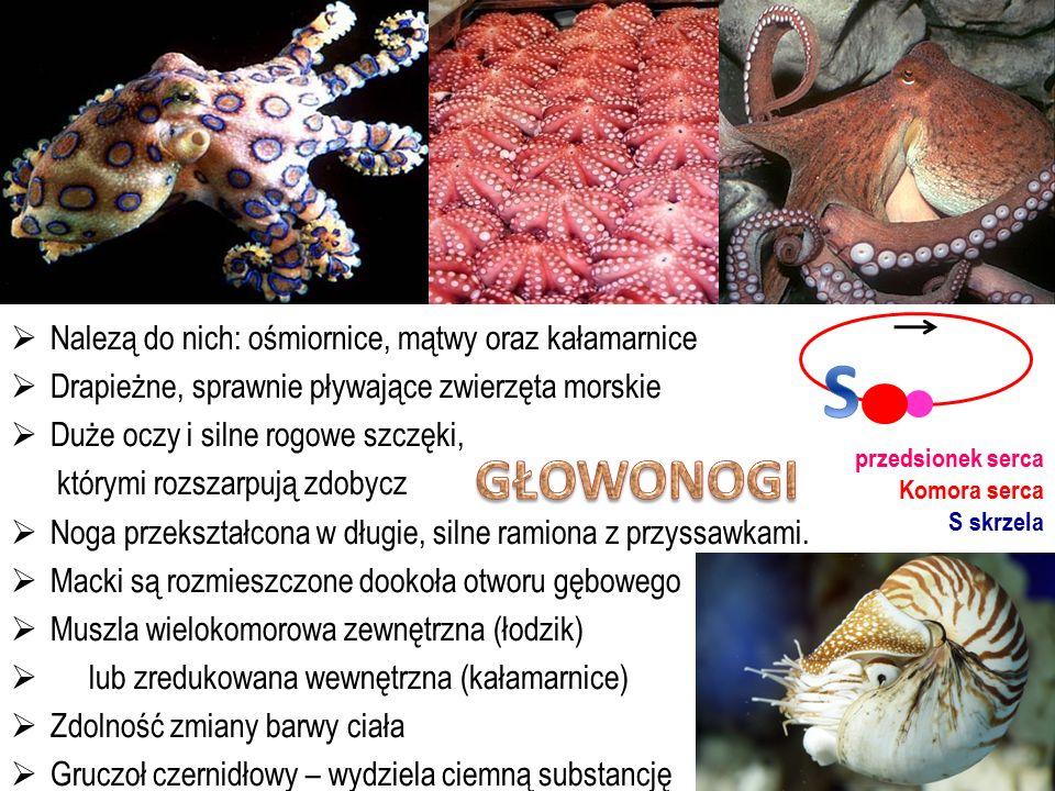  Nalezą do nich: ośmiornice, mątwy oraz kałamarnice  Drapieżne, sprawnie pływające zwierzęta morskie  Duże oczy i silne rogowe szczęki, którymi roz