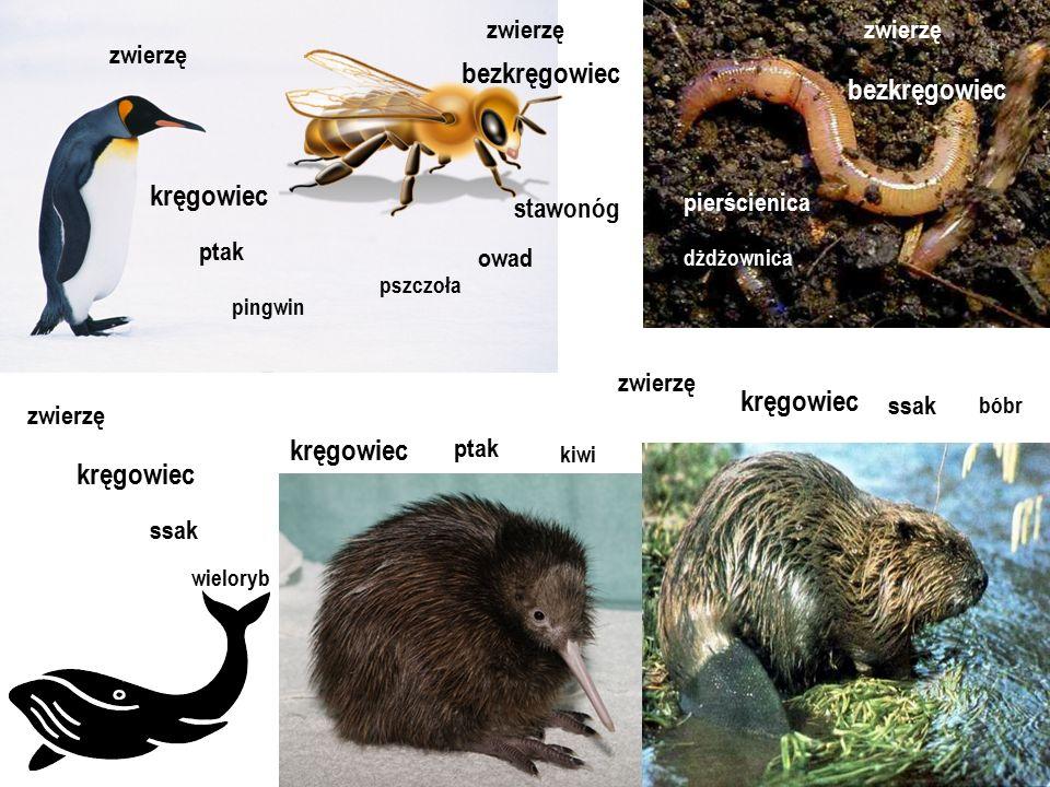 pierścienica zwierzę pszczoła owad bezkręgowiec zwierzę zwierzę zwierzę kręgowiec kręgowiec ptak ssak pingwin wieloryb stawonóg dżdżownica bezkręgowie