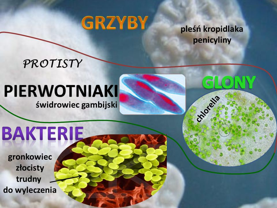 PROTISTY gronkowiec złocisty trudny do wyleczenia chlorella świdrowiec gambijski pleśń kropidlaka penicyliny