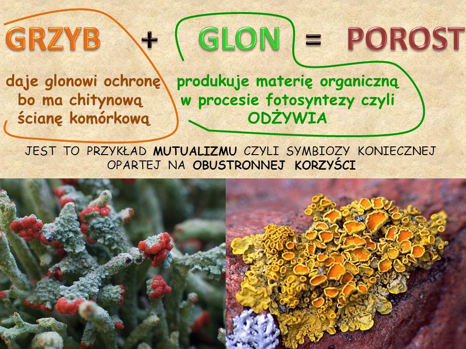 JEST TO PRZYKŁAD MUTUALIZMU CZYLI SYMBIOZY KONIECZNEJ OPARTEJ NA OBUSTRONNEJ KORZYŚCI daje glonowi ochronę bo ma chitynową ścianę komórkową produkuje materię organiczną w procesie fotosyntezy czyli ODŻYWIA