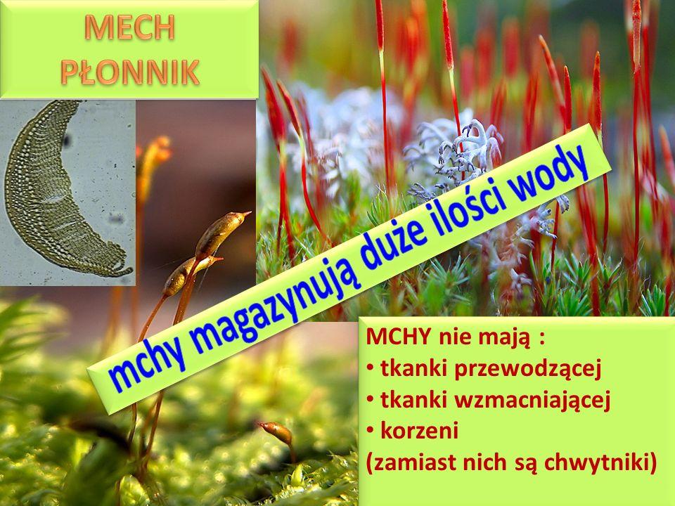 MCHY nie mają : tkanki przewodzącej tkanki wzmacniającej korzeni (zamiast nich są chwytniki) MCHY nie mają : tkanki przewodzącej tkanki wzmacniającej korzeni (zamiast nich są chwytniki)