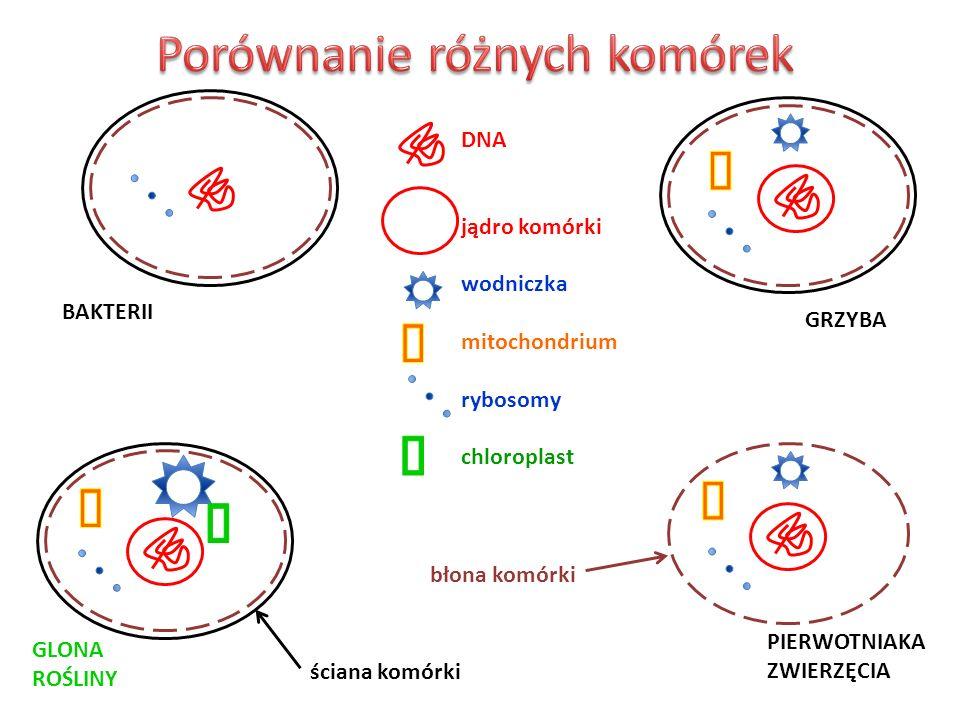 BAKTERII GRZYBA GLONA ROŚLINY PIERWOTNIAKA ZWIERZĘCIA DNA jądro komórki wodniczka mitochondrium rybosomy chloroplast ściana komórki błona komórki
