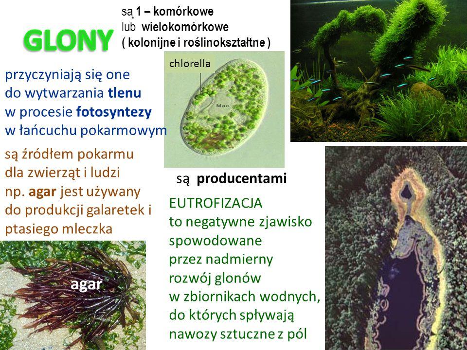 przyczyniają się one do wytwarzania tlenu w procesie fotosyntezy w łańcuchu pokarmowym są źródłem pokarmu dla zwierząt i ludzi np.