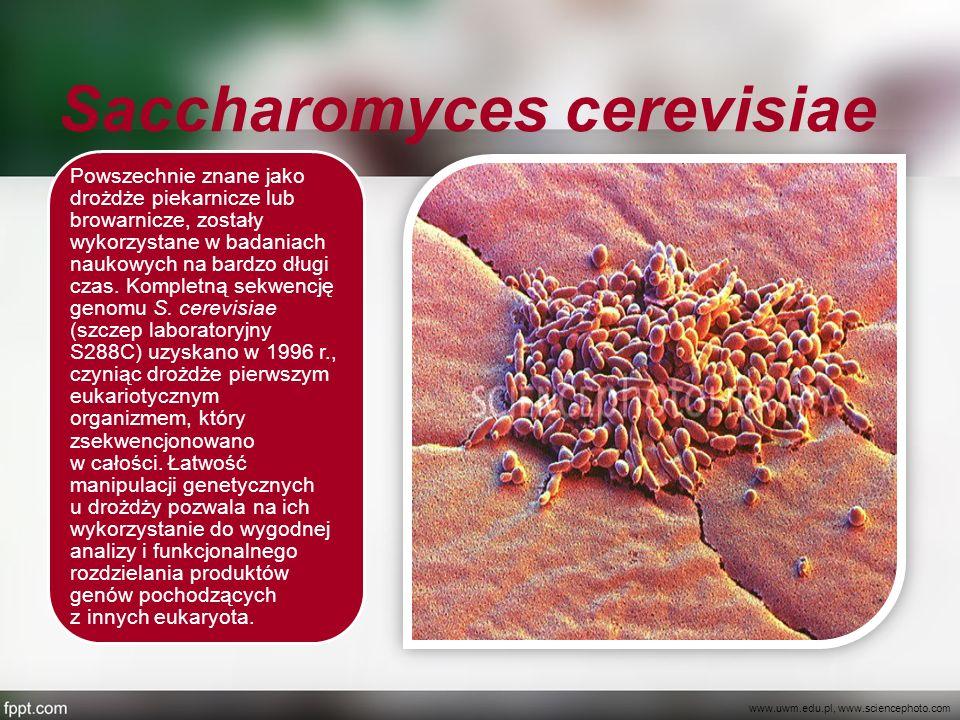 Saccharomyces cerevisiae Powszechnie znane jako drożdże piekarnicze lub browarnicze, zostały wykorzystane w badaniach naukowych na bardzo długi czas.