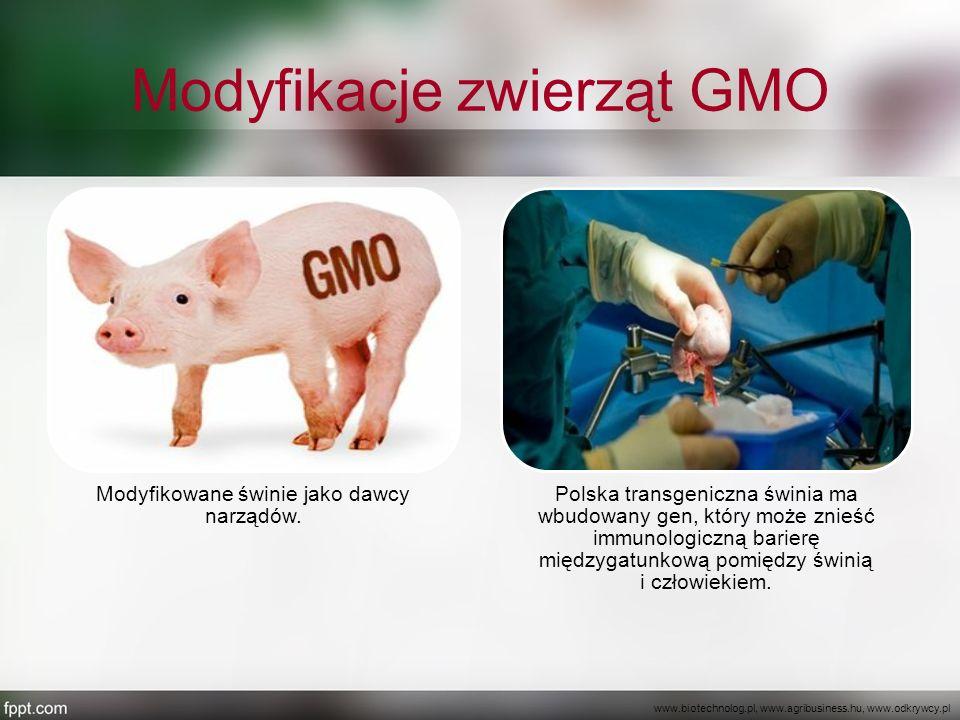 Modyfikacje zwierząt GMO Modyfikowane świnie jako dawcy narządów. Polska transgeniczna świnia ma wbudowany gen, który może znieść immunologiczną barie