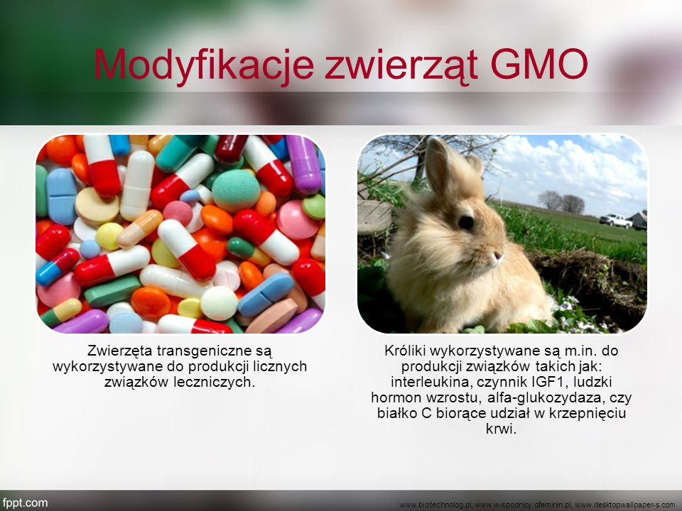 Modyfikacje zwierząt GMO Zwierzęta transgeniczne są wykorzystywane do produkcji licznych związków leczniczych. Króliki wykorzystywane są m.in. do prod