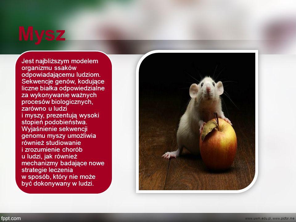 Mysz Jest najbliższym modelem organizmu ssaków odpowiadającemu ludziom. Sekwencje genów, kodujące liczne białka odpowiedzialne za wykonywanie ważnych