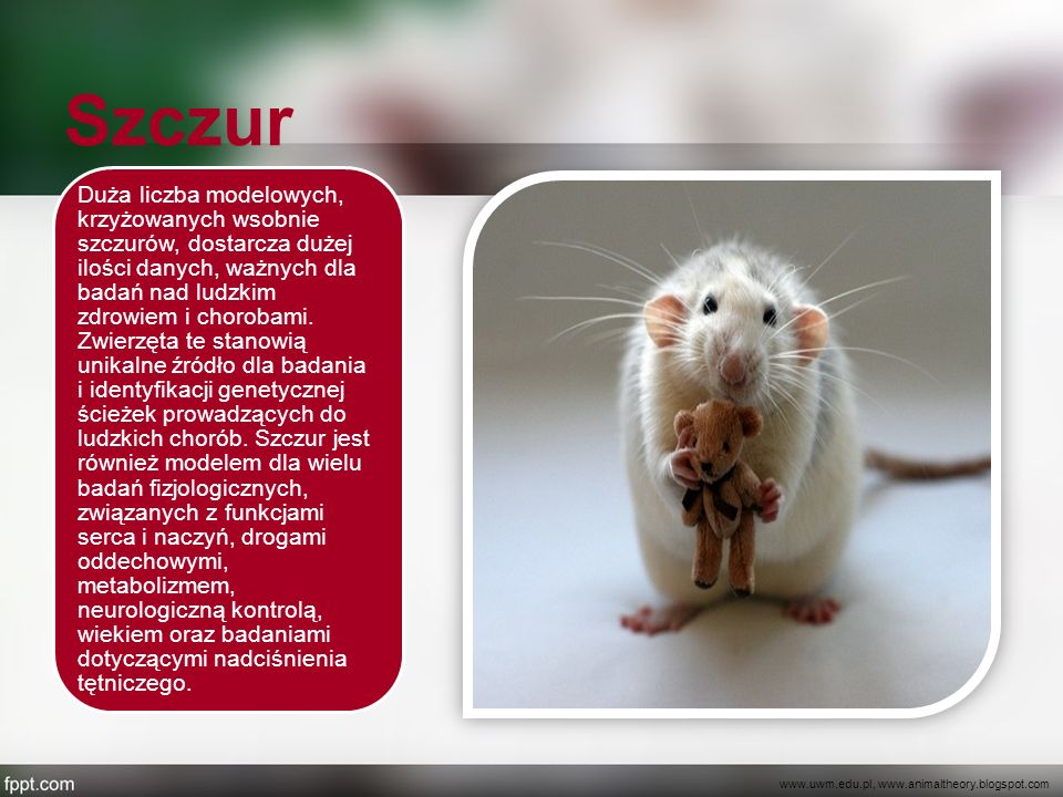 Szczur Duża liczba modelowych, krzyżowanych wsobnie szczurów, dostarcza dużej ilości danych, ważnych dla badań nad ludzkim zdrowiem i chorobami. Zwier