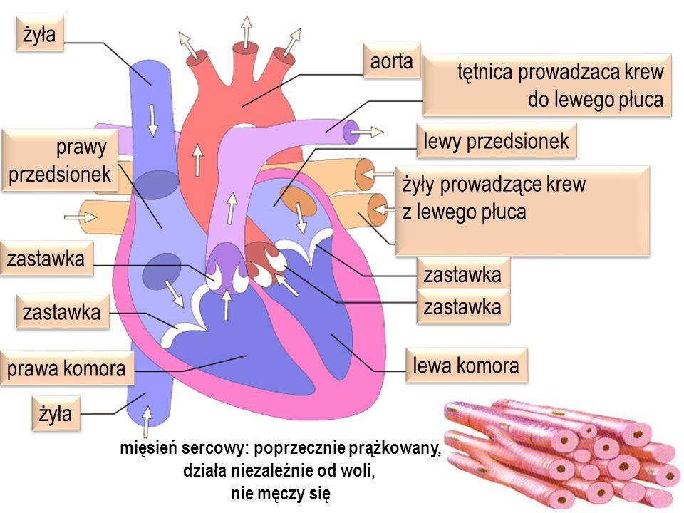 aorta żyła lewy przedsionek lewa komora prawa komora prawy przedsionek prawy przedsionek tętnica prowadzaca krew do lewego płuca tętnica prowadzaca kr