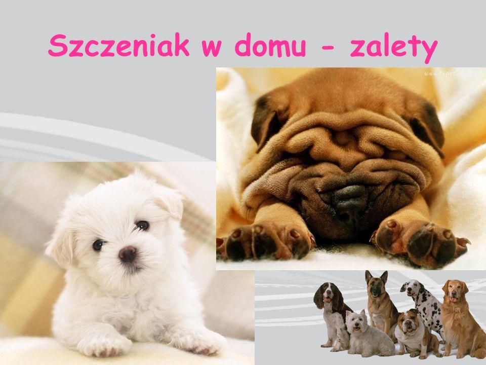 szczekanie i warczenie na nieznajomych obwąchiwanie kup innych psów podczas spaceru brak posłuszeństwa - brak reakcji na polecenia skakanie na właściciela lub gości / brudzenie ubrania załatwianie potrzeb fizjologicznych w domu domaganie się pieszczot szczekanie, gdy domownicy są zajęci Szczeniak w domu - wady wchodzenie na kanapę