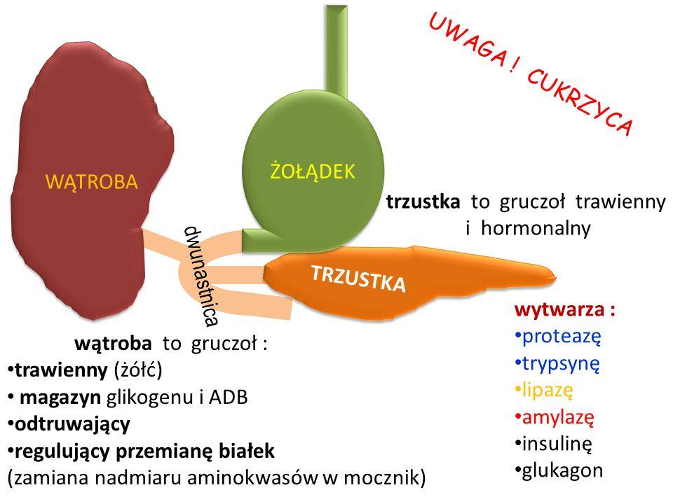 WĄTROBA TRZUSTKA ŻOŁĄDEK dwunastnica wytwarza : proteazę trypsynę lipazę amylazę insulinę glukagon trzustka to gruczoł trawienny i hormonalny U W A G