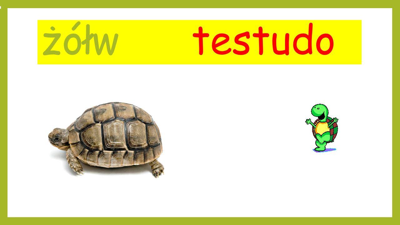 żółw testudo