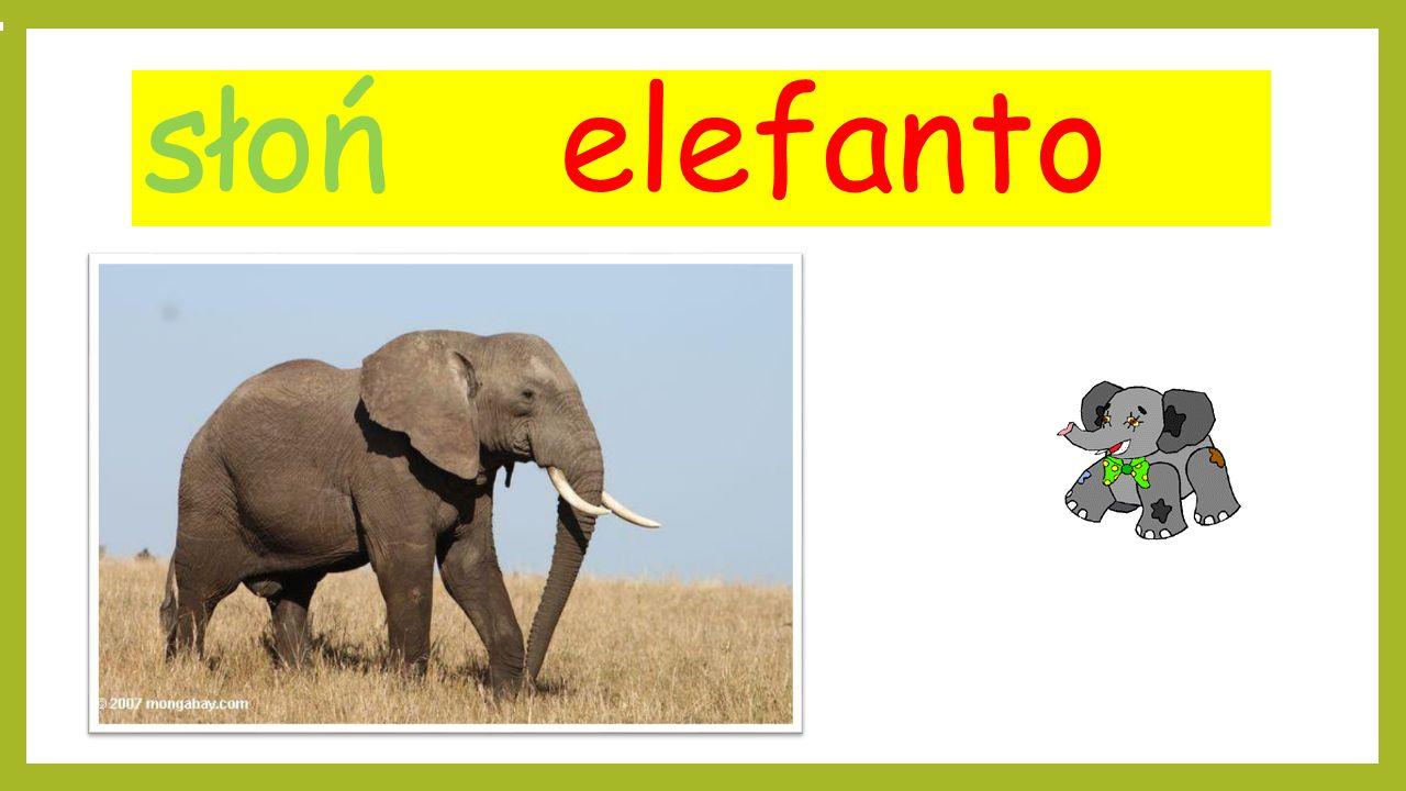 słoń elefanto