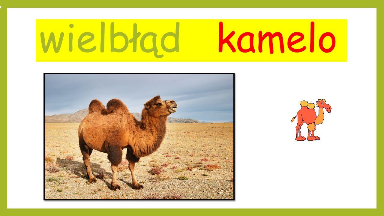 wielbłąd kamelo