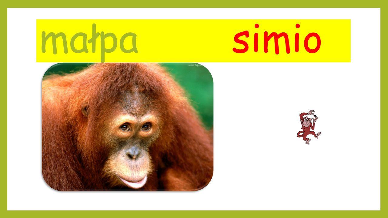 małpa simio