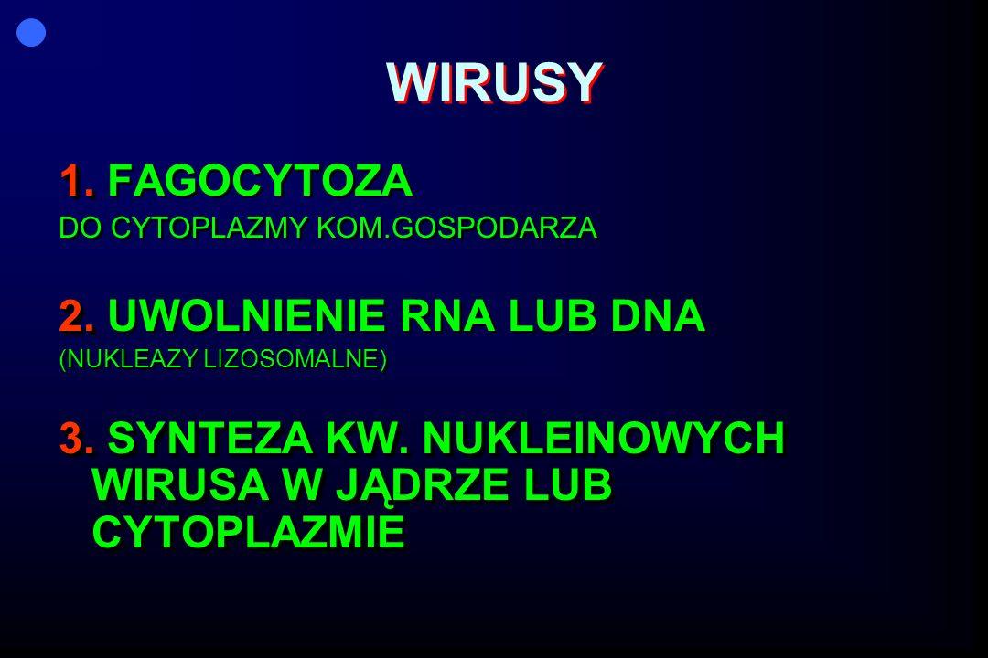 WIRUSY 1. 1. FAGOCYTOZA DO CYTOPLAZMY KOM.GOSPODARZA 2. 2. UWOLNIENIE RNA LUB DNA (NUKLEAZY LIZOSOMALNE) 3. SYNTEZA KW. NUKLEINOWYCH WIRUSA W JĄDRZE L