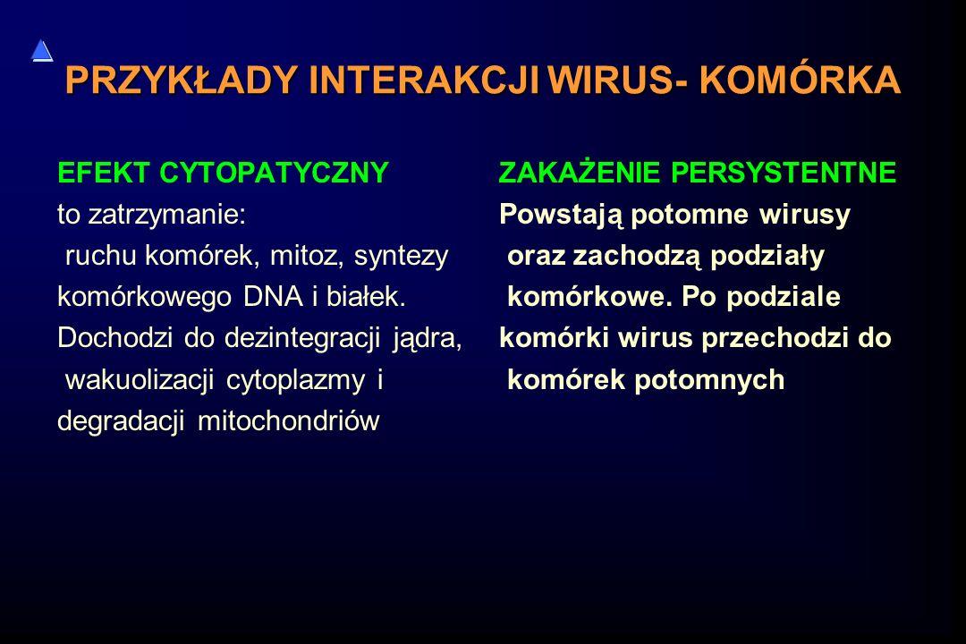 PRZYKŁADY INTERAKCJI WIRUS- KOMÓRKA EFEKT CYTOPATYCZNY to zatrzymanie: ruchu komórek, mitoz, syntezy komórkowego DNA i białek. Dochodzi do dezintegrac
