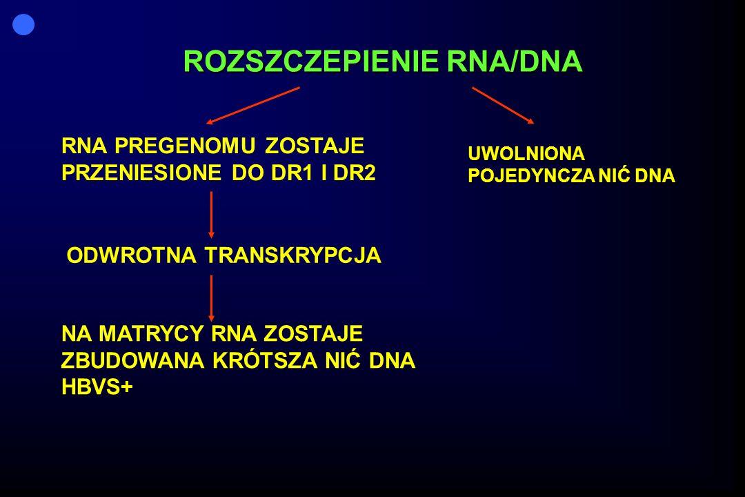 ROZSZCZEPIENIE RNA/DNA RNA PREGENOMU ZOSTAJE PRZENIESIONE DO DR1 I DR2 ODWROTNA TRANSKRYPCJA NA MATRYCY RNA ZOSTAJE ZBUDOWANA KRÓTSZA NIĆ DNA HBVS+ UWOLNIONA POJEDYNCZA NIĆ DNA