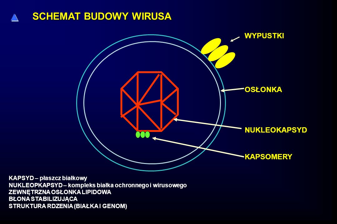 WYPUSTKI OSŁONKA NUKLEOKAPSYD KAPSOMERY SCHEMAT BUDOWY WIRUSA KAPSYD KAPSYD – płaszcz białkowy NUKLEOPKAPSYD – kompleks białka ochronnego i wirusowego ZEWNĘTRZNA OSŁONKA LIPIDOWA BŁONA STABILIZUJĄCA STRUKTURA RDZENIA (BIAŁKA I GENOM)