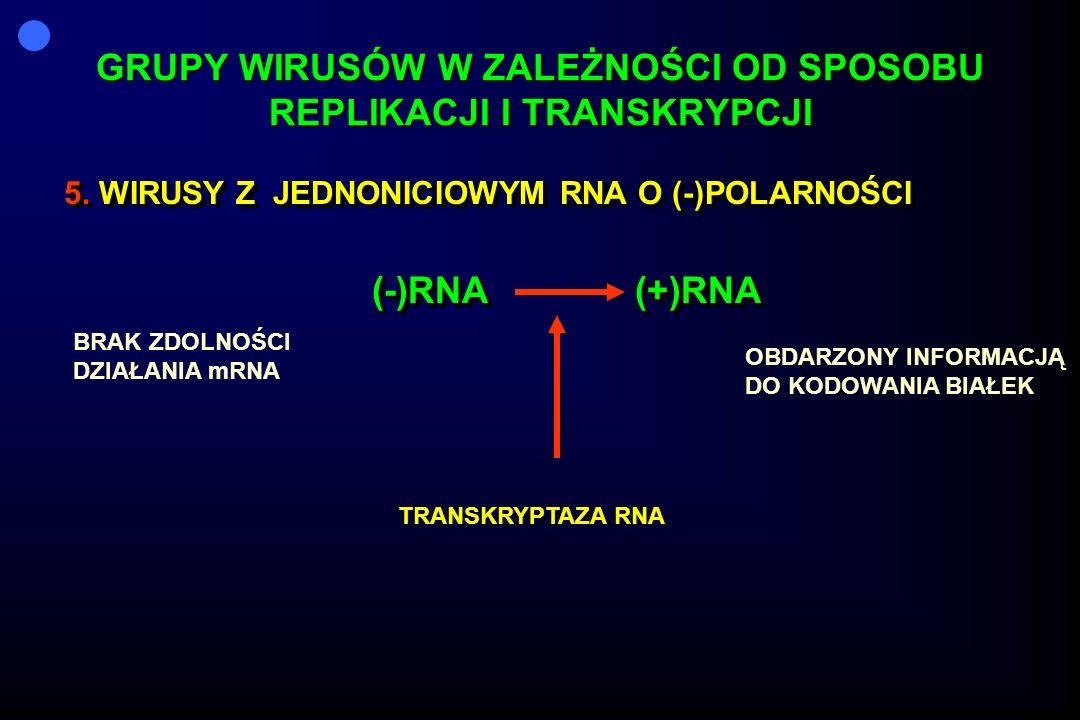 GRUPY WIRUSÓW W ZALEŻNOŚCI OD SPOSOBU REPLIKACJI I TRANSKRYPCJI 5. WIRUSY Z JEDNONICIOWYM RNA O (-)POLARNOŚCI (-)RNA (+)RNA 5. WIRUSY Z JEDNONICIOWYM