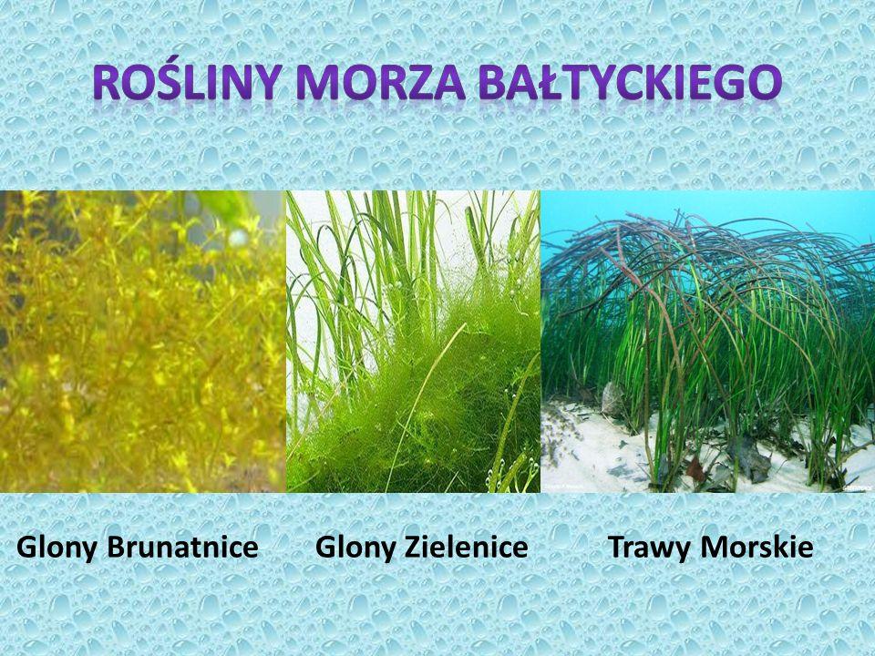 Glony Brunatnice Glony Zielenice Trawy Morskie