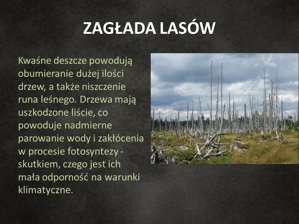 ZAGŁADA LASÓW Kwaśne deszcze powodują obumieranie dużej ilości drzew, a także niszczenie runa leśnego. Drzewa mają uszkodzone liście, co powoduje nadm