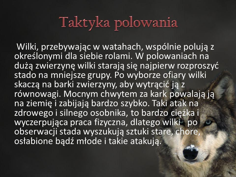 Wilki, przebywając w watahach, wspólnie polują z określonymi dla siebie rolami.