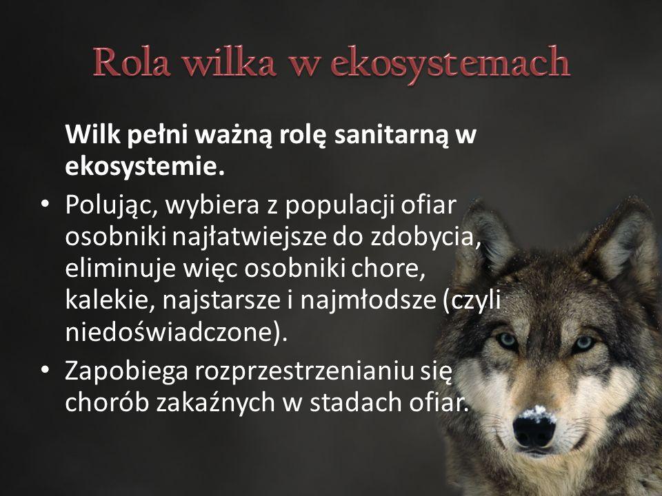 Wilk pełni ważną rolę sanitarną w ekosystemie.